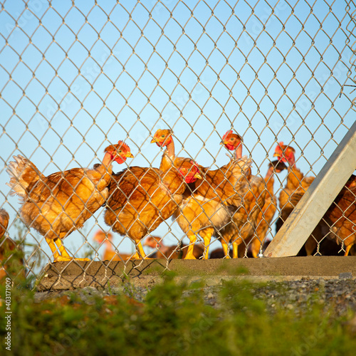 Poulet ou poule pondeuse dans un poulailler, élevage en plein air Fotobehang