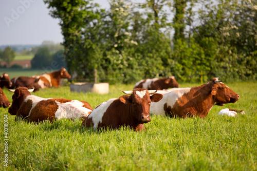 Troupeau de vaches, race à viande, dans une verte prairie. Fototapet