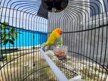 A Yellow Love Bird Is Enjoying Its Food