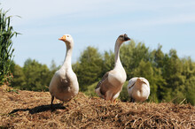 White House Goose And Swan Goose Standing On Dung Heap