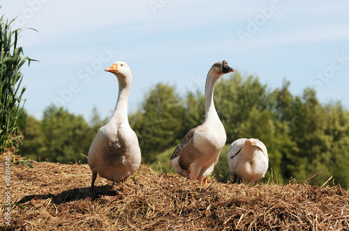 white house goose and swan goose standing on dung heap Fototapet