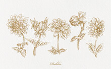 Realistic Gold Dahlia Flower Hand Drawn Illustration