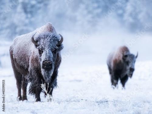 Fotografie, Obraz wild boar in winter