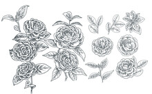 Realistic Hand Drawn Camelia Flower Illustration Assets