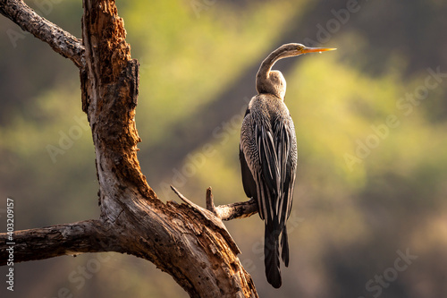 Photo Oriental darter or Indian darter portrait basking in sun at keoladeo ghana natio