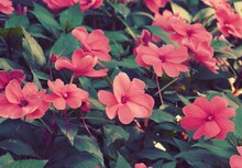 Photo Of Artistic Pink Impatiens In The Garden