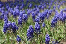 Whole Lot Of Violet Flowers Of Armenian Grape Hyacinths In May