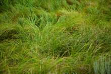 Thin Long Green Grass Creeps. Uncut Grass On The Lawn. Large Horizontal Photo. Summer Time.