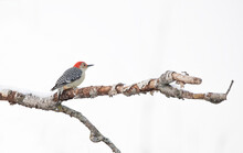 Red-bellied Woodpecker Perched On A Branch In Winter In Canada