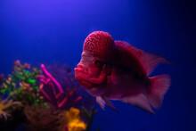 Nice Red Flowerhorn Cichlid Fish In Aquarium On Deep Blue Background