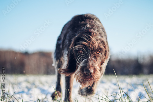 Fototapeta Detail on the running dog Barbu tcheque, Czech breed. The focused expression of a hunting dog in a snowy landscape searching for the right trail. Find a trail and find an animal obraz