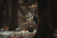 A Chamois Cub Lost In The Woods Looking For A Way.
