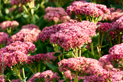 Fotografia A flower bed of pink perennial flowers of stonecrop.