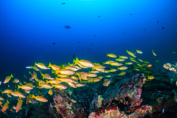 Fototapeta na wymiar School of colorful blue stripe snapper on a tropical coral reef in Thailand's Andaman Sea