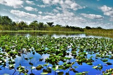 Everglades Landscape With Lillly Pads On The Foreground, River Water On The Middle-ground And Dense Vegetation On The Background