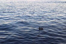 A Lonely Duck Swims Along The River. Duck In The Water In The Center Of The Frame.