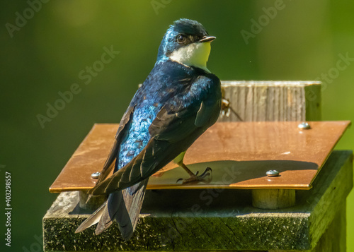 Fotografiet Stately tree swallow perch on top roof of birdhouse in the spring
