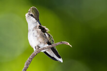 Ruby Throated Hummingbird Preening While Perched Delicately On A Slender Twig