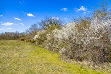 Trees And Blossoming Bushes In March