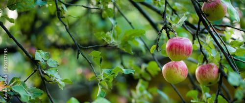 jabłka na drzewie w sadzie