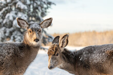 Two Female Mule Deers Seen In Winter Time Season With Snowy, Snow Background, Forest And Woods.
