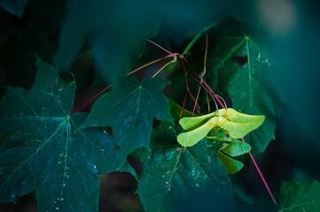 zielony owad na żółto-zielonych owocach klonu wśród ciemnozielonych liści