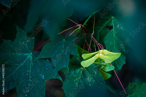 Fototapeta premium zielony owad na żółto-zielonych owocach klonu wśród ciemnozielonych liści