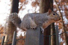 Squirrel Sitting On A Fence In Autumn Park, Close-up