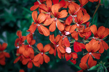 Blooming Geranium Bright Red Colors Close Up