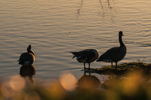 Three Canada Geese (Branta Canadensis) Meet At The Water's Edge Of A Peaceful Lake At Sunset With Yellow Leaves Bokeh In The Foreground.