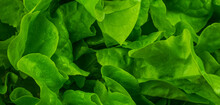 Green Lettuce Leaves With Visible Details. Background Or Texture
