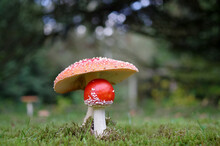 Two Red Toadstools On A Green Meadow And In Front Of A Forest