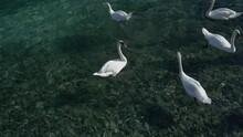 White Swans Swimming On Lake Geneva - Travel