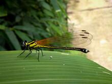 Picture Of Yellow Damselfly With Black Stripes. Black Marsh Dart Damselfly Or Onychargia Atrocyana