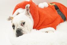 イングリッシュブルドッグ 子犬 サンタクロース衣装 写真77