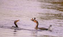 Cormorant Eating Fish