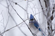 Blue Jay bird perched on a frost-covered tree branch