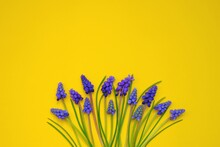 Grape Hyacinth.purple Muscari Flower.spring Season.violet Muscari Flowers On A  Yellow Background.First Spring Flowers Close-up. Floral Greeting Card Blank. Copy Space.