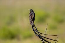 Long Tailed Widow Bird