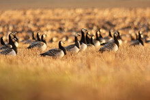 The Barnacle Goose, Branta Leucopsis, Flock Of Migrating Birds Resting And Feeding On A Field During Sunset