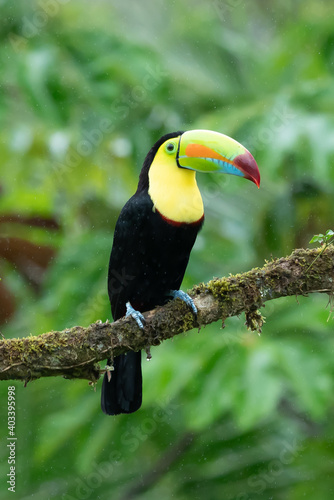 Obraz Wildlife from Costa Rica, tropical bird. Toucan sitting on the branch in the forest, green vegetation. Nature travel holiday in central America. Keel-billed Toucan, Ramphastos sulfuratus. - fototapety do salonu