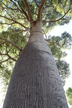 Narrow-leaved Bottle Tree Or Queensland Bottle Tree (Brachychiton Rupestris)  Australia