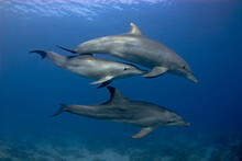 Group Of 3 Dolphins (tursiops Aduncus) Swimming In The Open Sea