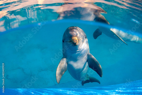 Billede på lærred Underwater image of a bottlenose dolphin in a pool staring directly at the camera