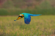 Blue And Gold Macaw Flying, Beautiful Parrot On Green Background