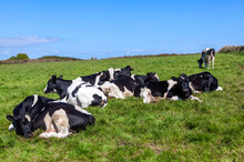 Holstein Friesian Cow Laying Down Sleeping In A Dairy Agricultural Livestock Pasture Field With A Blue Sky And Copy Space, Stock Photo Image