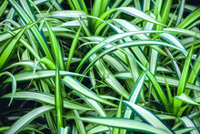 The Background Of The Long Striped Green Leaves
