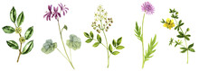 Watercolor Drawing Wild Plants