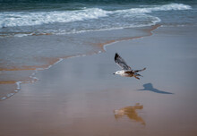 Flying Seagull With Shadow And Reflection At A Beach