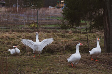 4 White Geese